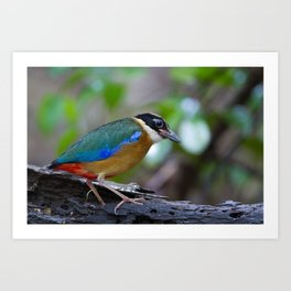 BLUE WING PITTA Art Print