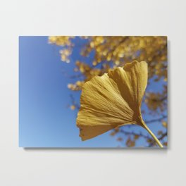 Ginkgo Gold! With sapphire sky Metal Print