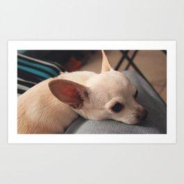 Lap Dog Chihuahua Art Print