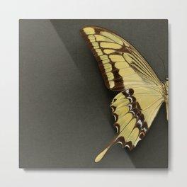 King Swallowtail Butterfly demi. Metal Print