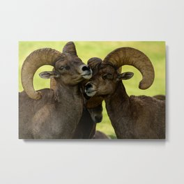 Desert Bighorn Rams 4299 - Closeup Metal Print