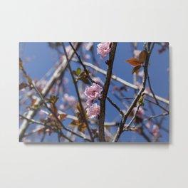 Branches of flowering Plum Metal Print
