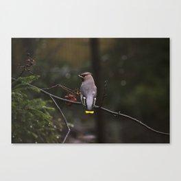 Bohemian waxwing on rowan tree branch Canvas Print