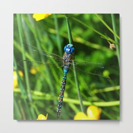 Migrant Hawker Dragonfly Metal Print