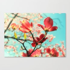 Spring dogwood blossoms Canvas Print