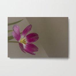 tulip_22 Metal Print
