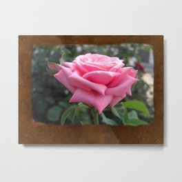 Pink Roses in Anzures 6 Blank P3F0 Metal Print