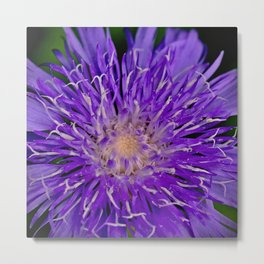 Knapweed Wildflower Metal Print