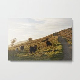 Cattle grazing on mountainside. Derbyshire, UK. Metal Print