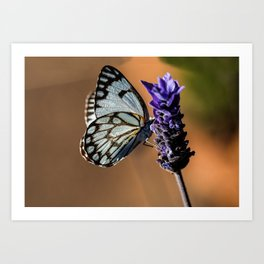 Caper White Butterfly Art Print