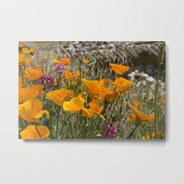 Cailfornia poppies Metal Print