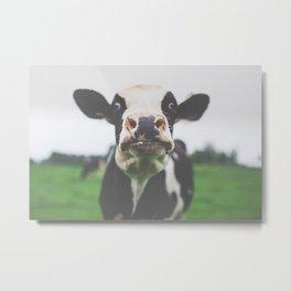 Funny Cow Photography print Metal Print