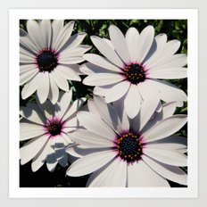 white daises with blue eyes Art Print