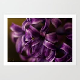 Purple Hyacinth Art Print