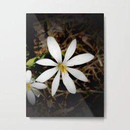 Bloodroot Blossoms 3 Metal Print