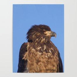 Golden Eagle on the Kenai Poster
