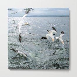 Gannets Diving for fish Metal Print