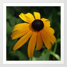Golden glow of a black-eyed Susan Art Print