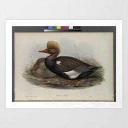 318 Branta rufina. Red crested Duck Art Print