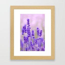 Lavender, lavandula flowers Framed Art Print