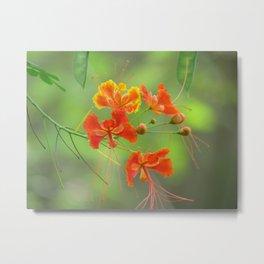 Miniature poinciana tree photo print Metal Print