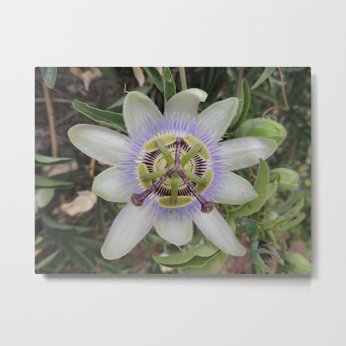 Passion Flower Blossom Metal Print
