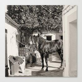 black horse Golega Portugal Canvas Print