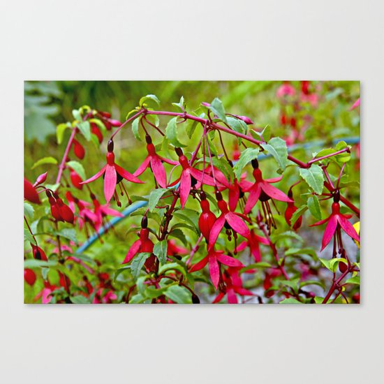 Pink Fuchsia Blossoms Canvas Print