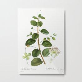 Caper (Capparis Spinosa) from Traité des Arbres et Arbustes que l'on cultive en France en pleine ter Metal Print
