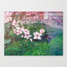 Cherry blossoms sakura Canvas Print