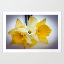 Daffodils resting in the snow after a late London snowstorm in March Art Print