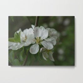 Apple Blossoms II Metal Print