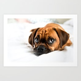 Adorable Puggle Dog on White Bed Art Print