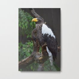 National Aviary - Pittsburgh - Stellers Sea Eagle 1 Metal Print