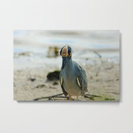 The Yellow-crowned Night Heron at Ding I Metal Print