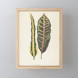 Croton irregulare engraved by Benjamin Fawcett (1808-1893) for Shirley Hibberds (1825-1890) New and Framed Mini Art Print