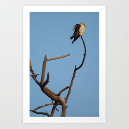 Black-winged kite. Art Print