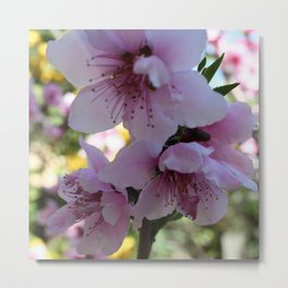 Pastel Shades of Peach Tree Blossom Metal Print