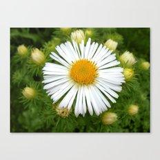 white aster Canvas Print