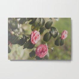 Pink lady camellia Metal Print
