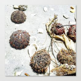 Sea Urchins in the sand, on the beach Canvas Print