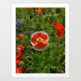 The Red & White Poppy Art Print