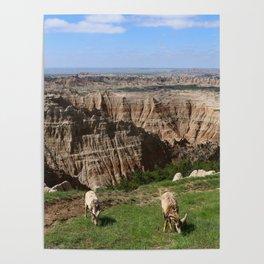 Bighorn Sheep At Sage Creek Poster