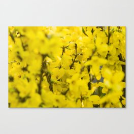 Yellow spring blooming Canvas Print