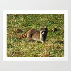 raccoon 2016 II Art Print