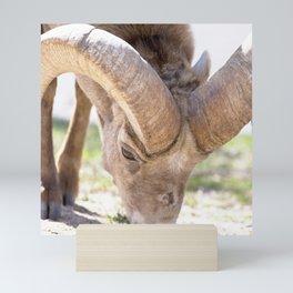 Watercolor Sheep, Bighorn Ram 04, Fall River, RMNP, Colorado, Salt-lick Mini Art Print