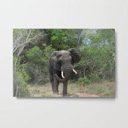 African Elephant Metal Print