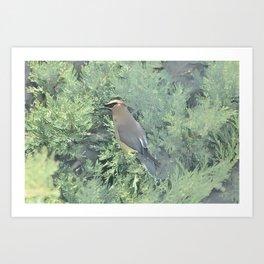 Cedar Waxwing Bird Art Print