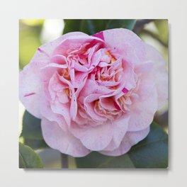 Strawberry Blonde Camellia Bloom Metal Print