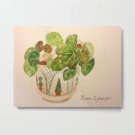 Begonia 'Erythrophylla' Metal Print